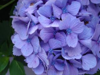 浅虫の紫陽花