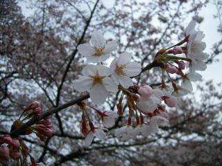山北の桜2