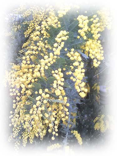 mimoza_3.jpg