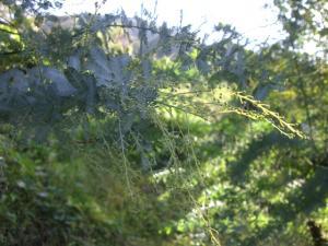 銀葉アカシヤ 蕾がいっぱい