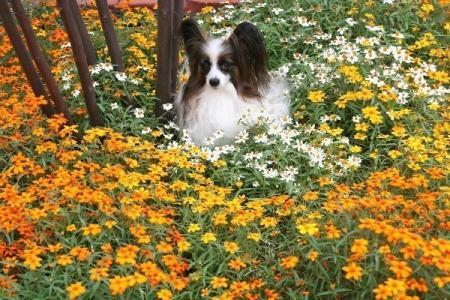 ジニア・リネアリスの庭