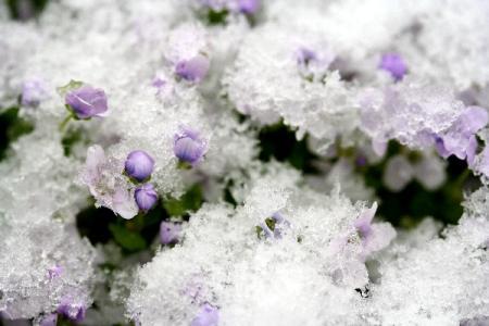 雪に埋もれるイオノプシディウム