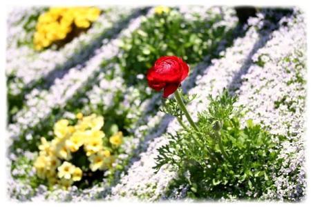 イオノプシディウムの花壇