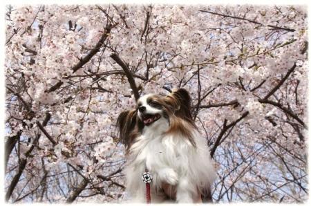 桜が満開でしゅよ~