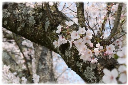 さくら 桜 サクラ咲く