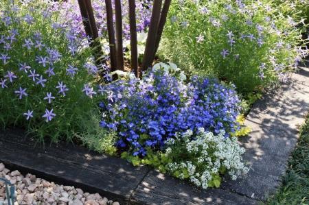 初夏の庭 イソトマとロベリア