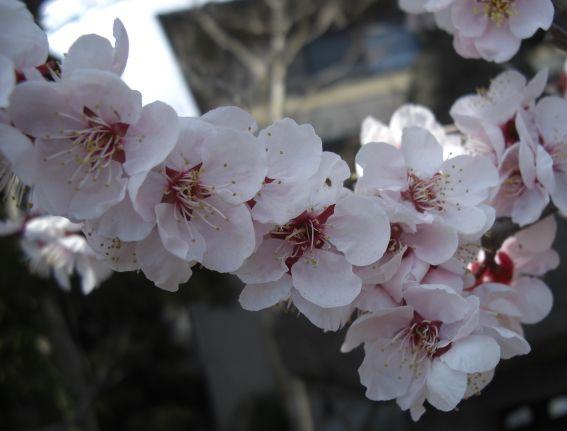 鈴木家桜1