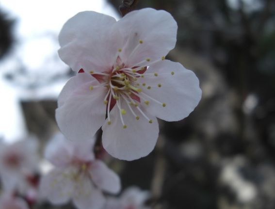 鈴木家桜2