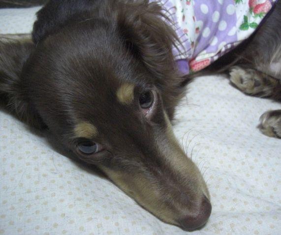 紫パッチ犬服8