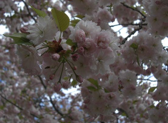 塩釜桜10