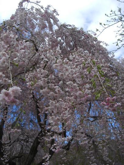 塩釜桜13