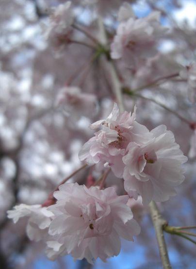 塩釜桜15