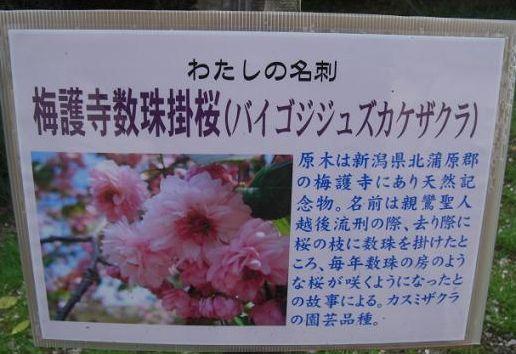塩釜桜12