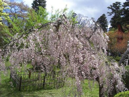 塩釜桜14