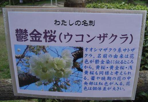 塩釜桜16
