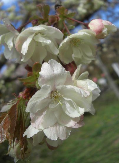塩釜桜18