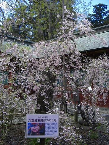 塩釜桜24