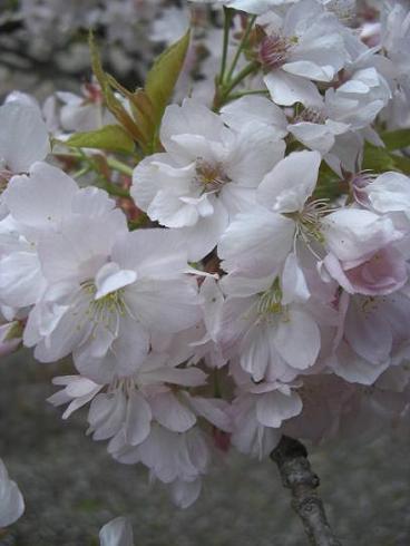 塩釜桜27