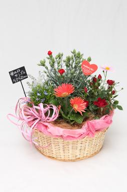 【母の日ギフト】カーネーションの寄せ鉢