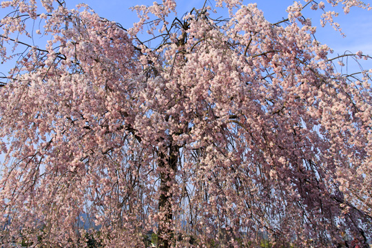 20090412_arashiyama-02.jpg