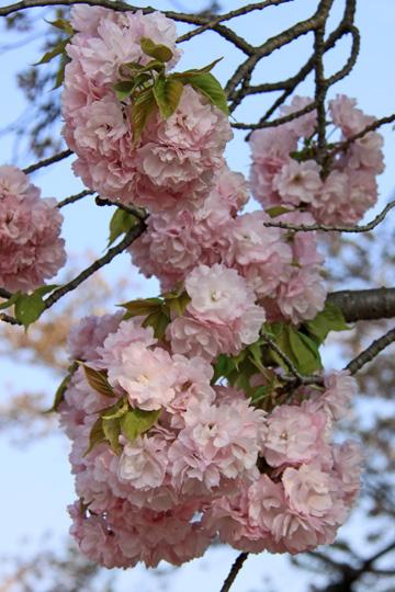 20090412_cherry_tree-01.jpg