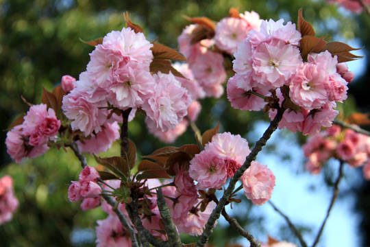 20090412_cherry_tree-02.jpg