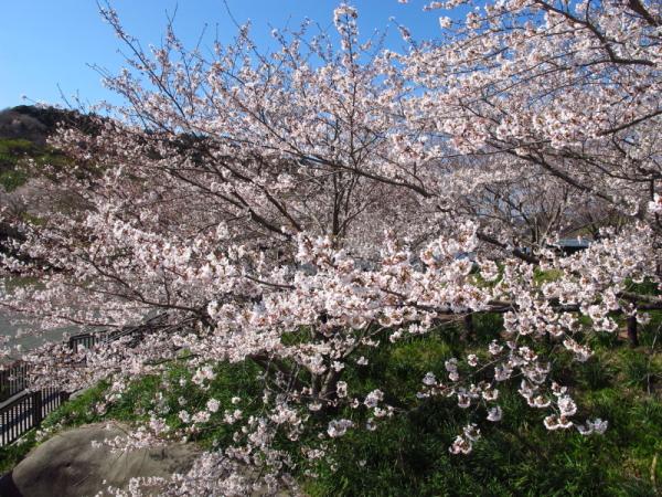 20120408_sakura.jpg