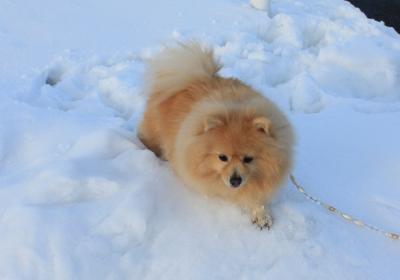 雪に沈みそうなシロン