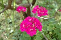 デラニュームの花
