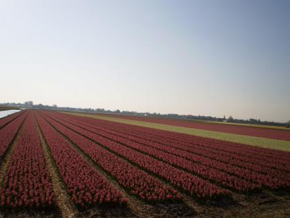 ヒヤシンス畑