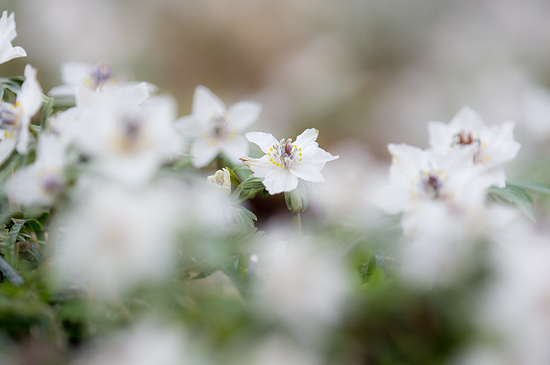 セツブンソウ咲く