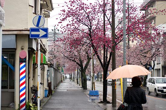 高岳桜-13