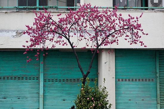高岳桜-4