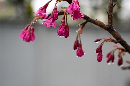 高岳桜-5