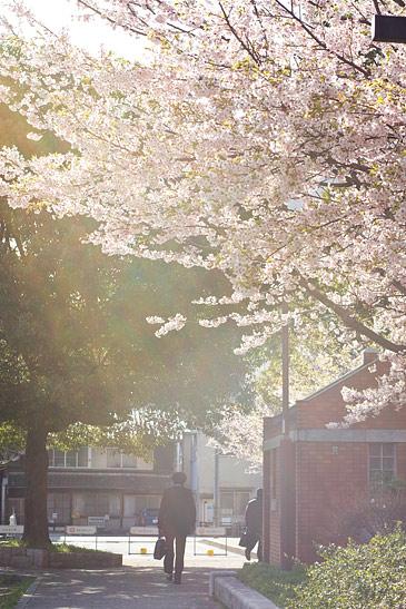 名城桜-10