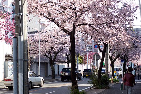 名城桜-3