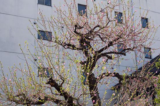 名城桜-4