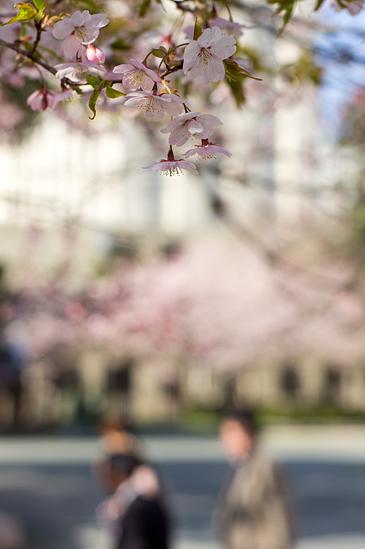 名城桜-6