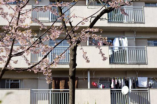 名城桜-8