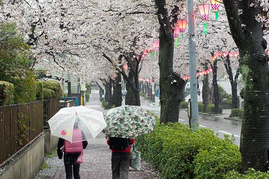 桜便り13-1