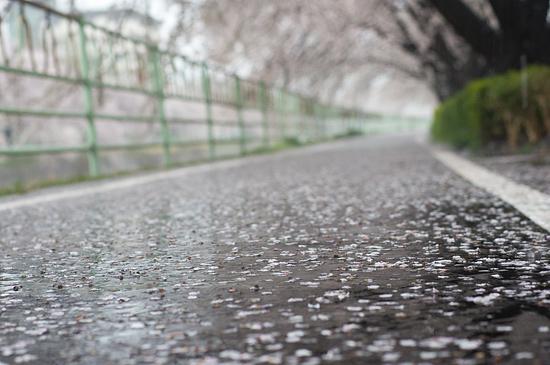 桜便り13-12