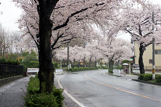 桜便り13-3