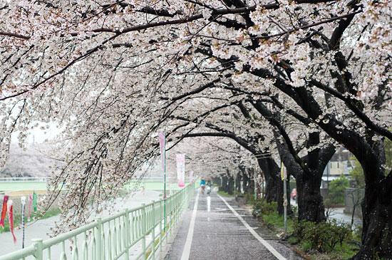 桜便り13-7