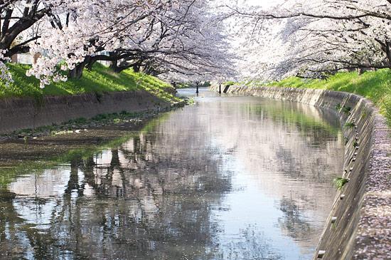 桜便り15-1