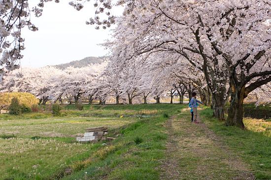 桜便り15-11