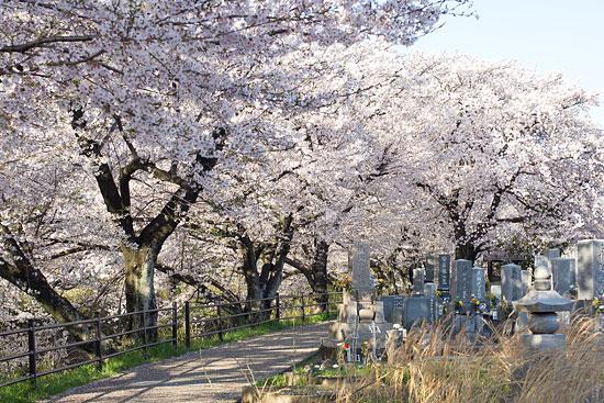 桜便り15-8