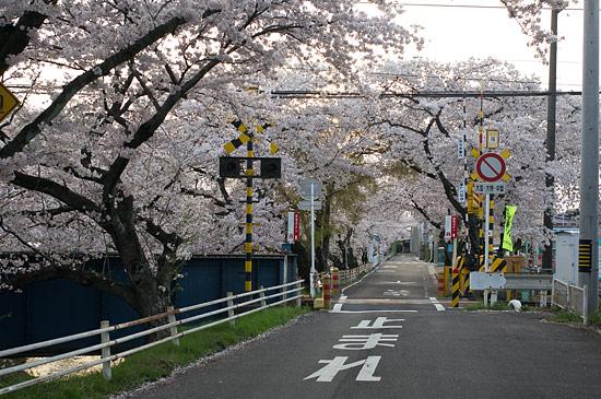 桜便り16-11