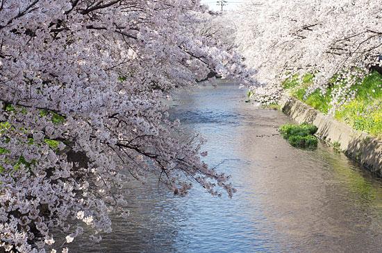 桜便り16-2