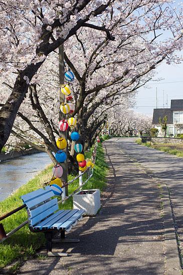 桜便り16-3