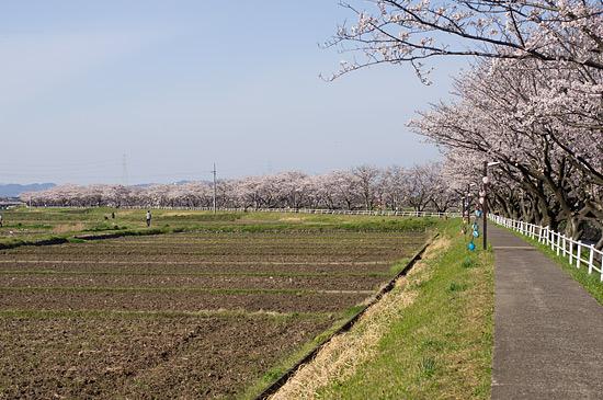 桜便り16-4